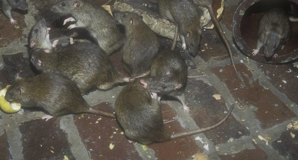 уничтожение крыс в Югорске
